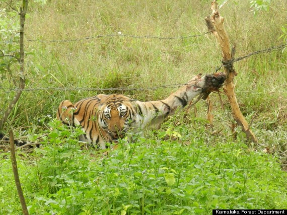 tiger caught in barbed wire india
