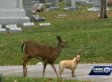Stray Dog And Motherless Deer Become Best Friends In Cemetery, But Fate Pulls Them Apart (VIDEO)