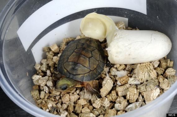 boxed turtles