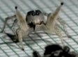 Spider Does The Rumba (VIDEO)