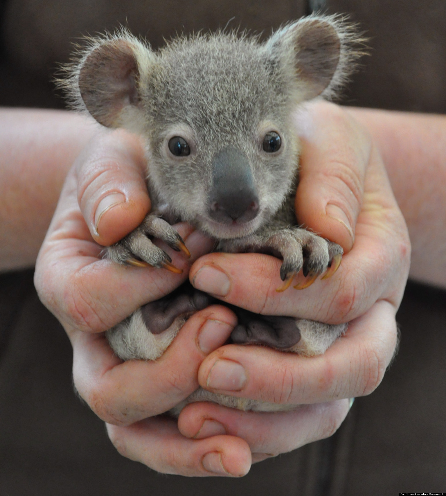 baby animal cutest animals adorable zooborns cute babies pets newborn animales babyanimals funny koala australia bebe babay babe animaux ok