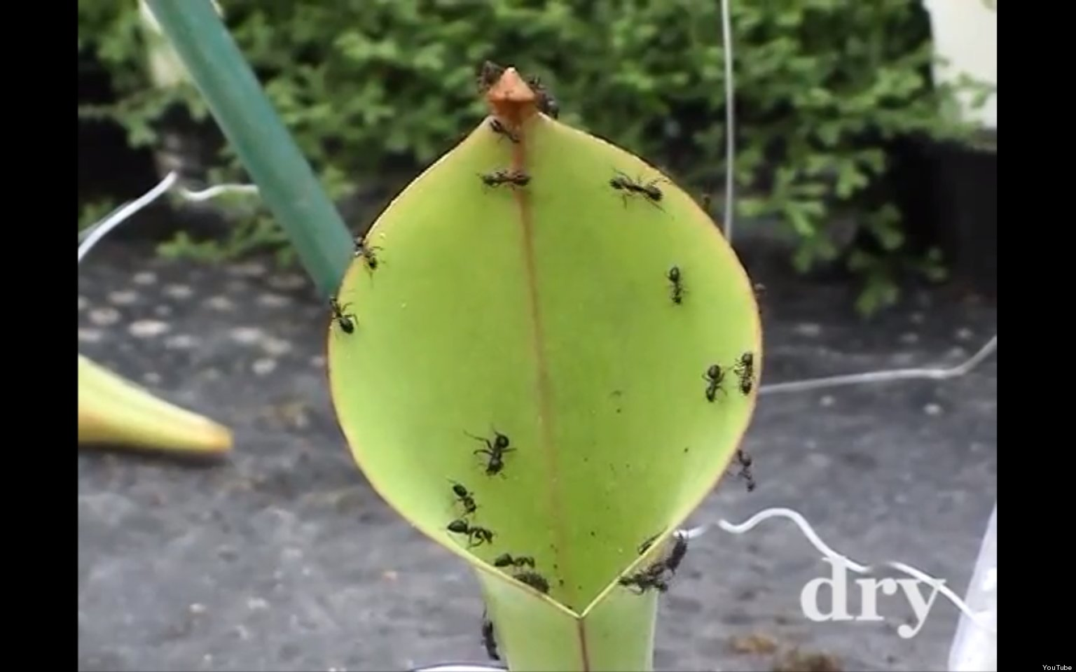 Pitcher Plant Eating Insect O-pitcher-plant-hairs-facebook jpgPitcher Plant Eating Man