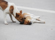 Loyal Dog Stands Guard Over Dead Friend's Body In China (PHOTO)