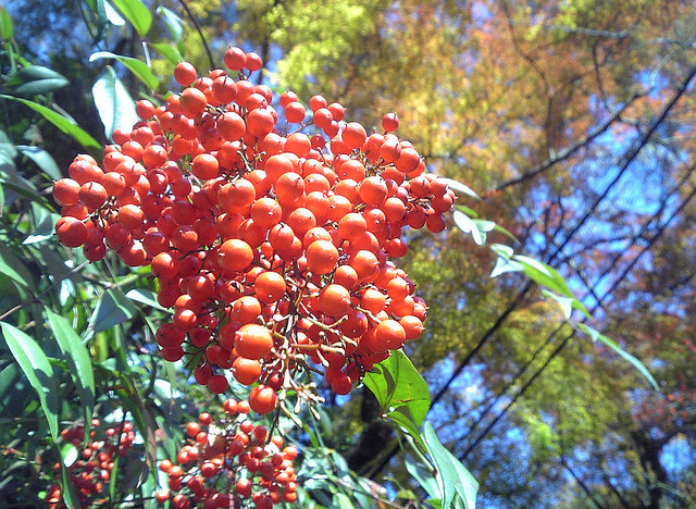 coral berry