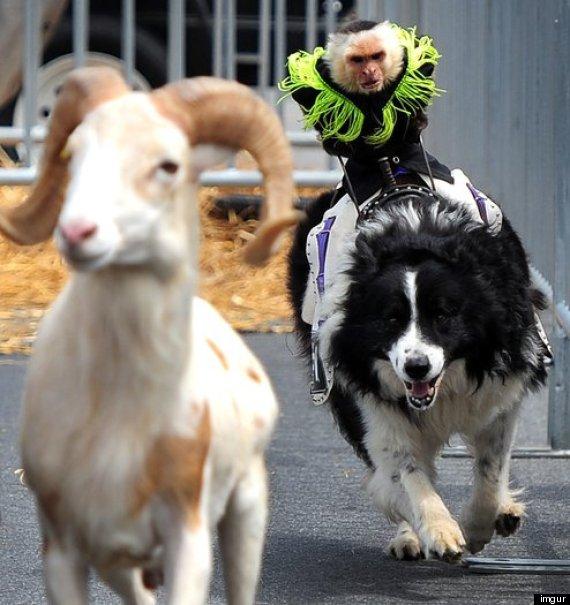 Baby Monkey Riding On A Dog monkeys ride dogs
