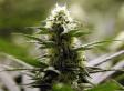 Colorado Marijuana Clubs Open Following Passage Of Amendment 64