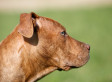 Pitbulls Attack, Kill Dog At Calgary Dog Park, Family Claims