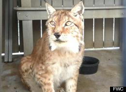Siberian Lynx Dies After Florida Teen Allegedly Tries To ...