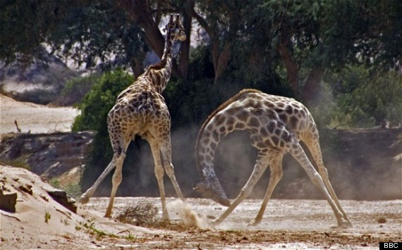 fighting giraffe africa bbc