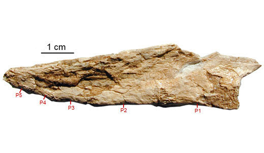 oviraptorfusedbones