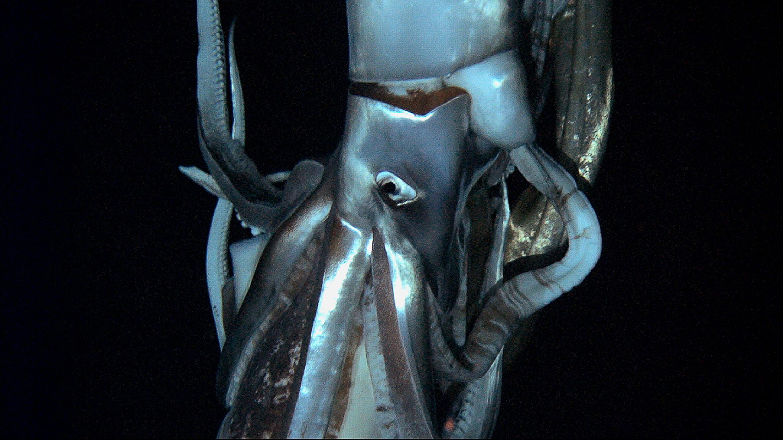 calamar geant gros plan
