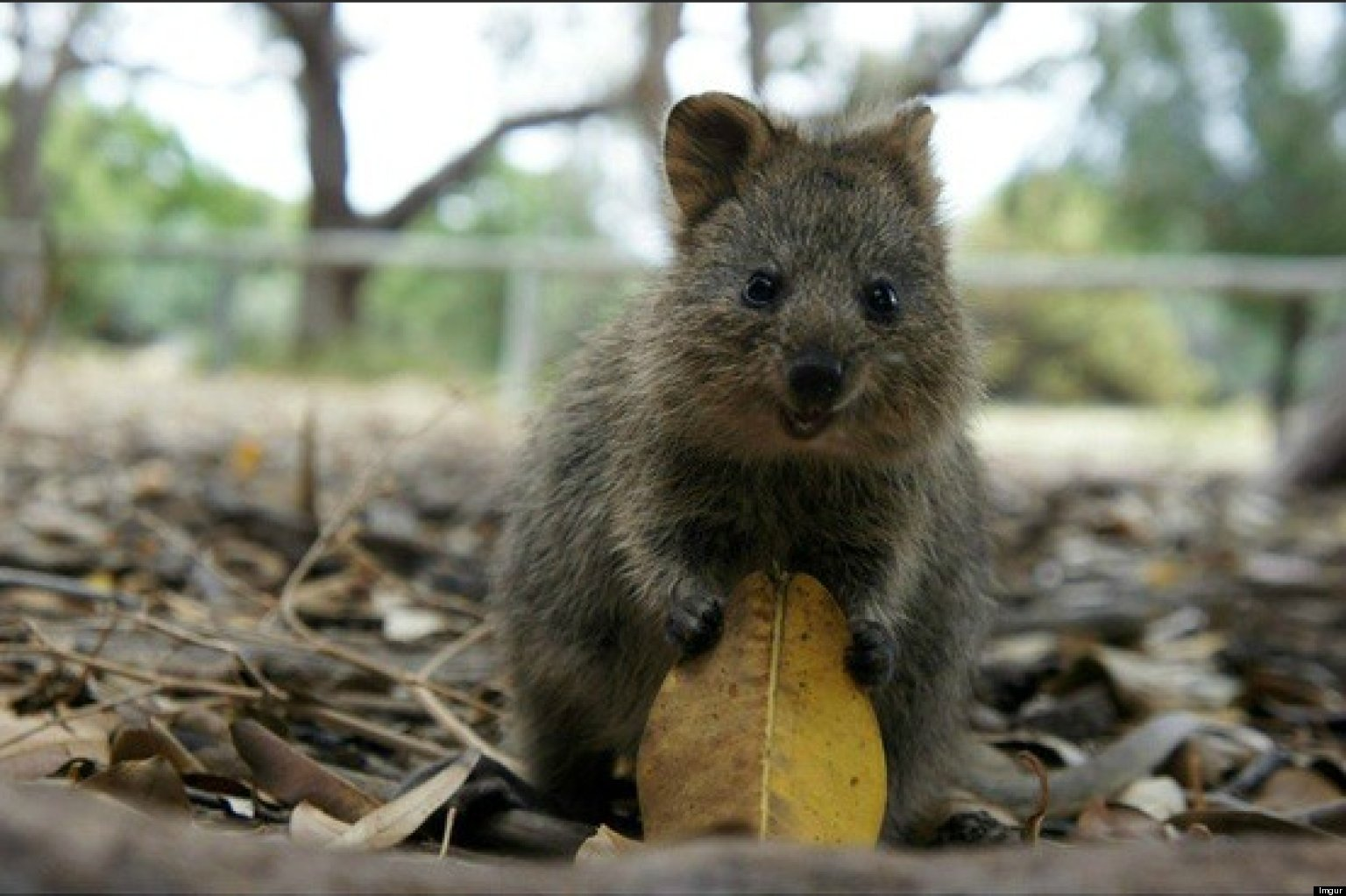 Meet The Quokka, The Happiest Animal In The World (PHOTOS ...