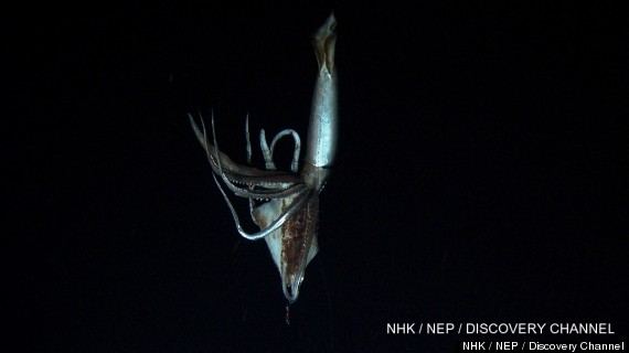 giant squid video