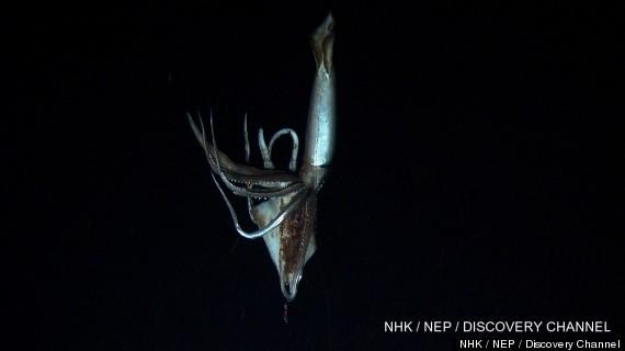 giant squid video