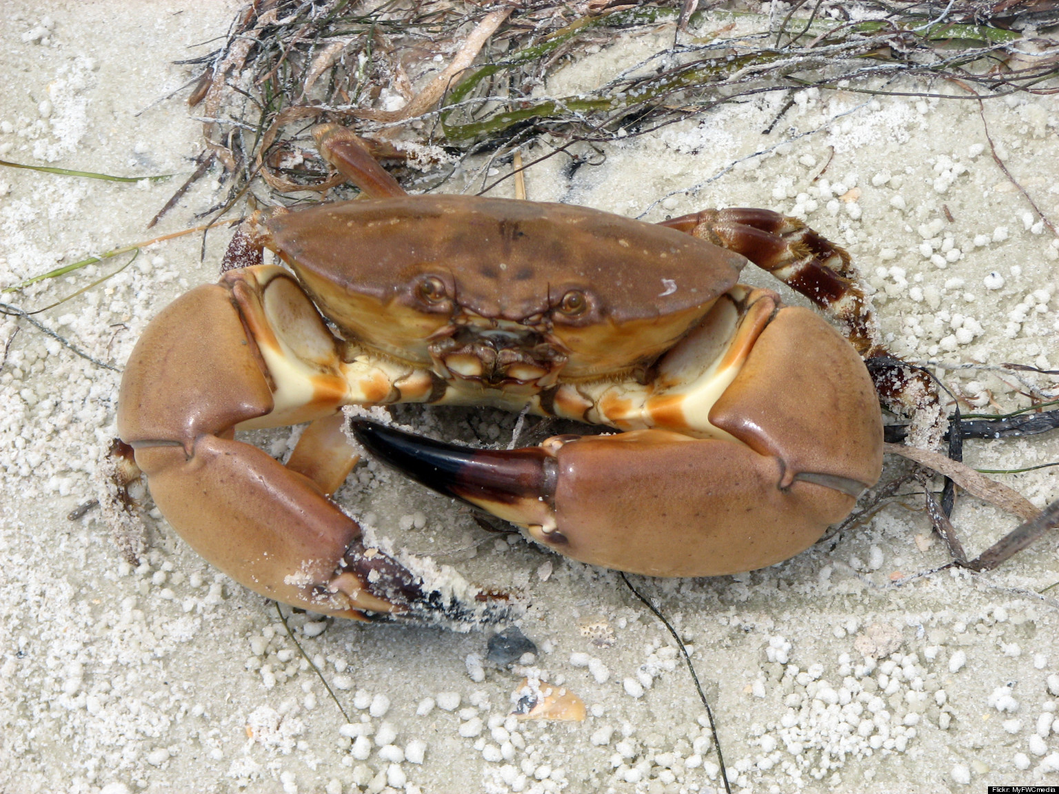 Crustacean Rights: Are Stone Crabs Lucky, Really? Hal Herzog