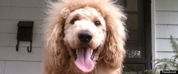 Charles The Monarch Lion Dog 911