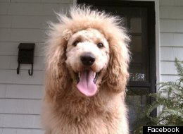Goldendoodle Lion Cut http://www.huffingtonpost.com/2013/01/09/charles-the-monarch-dog-lion-911_n_2439913.html