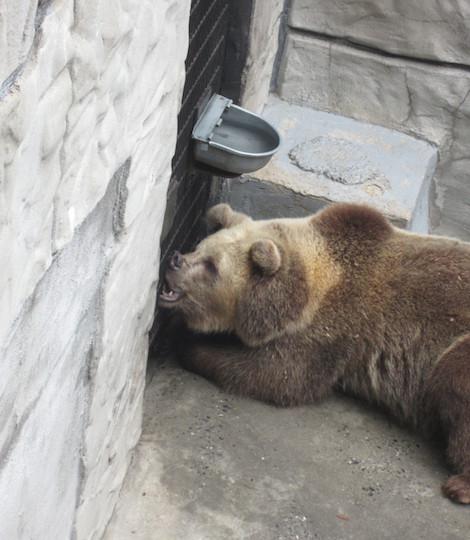 peta chief saunooke bear park