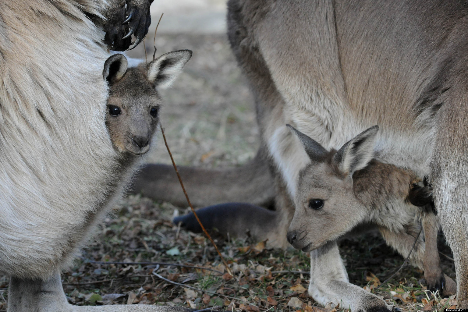 Brookfield zoo baby kangaroo debut pair of joeys take a for Home wallpaper joey s
