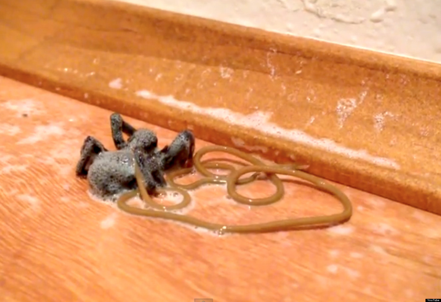 Parasitic Worm VIDEO Shows Huge Nematode Emerging From Dead Spider ...