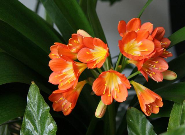 Image result for kaffir lily