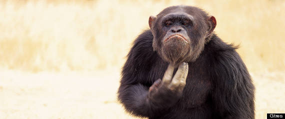 Inteligencia Chimpancs