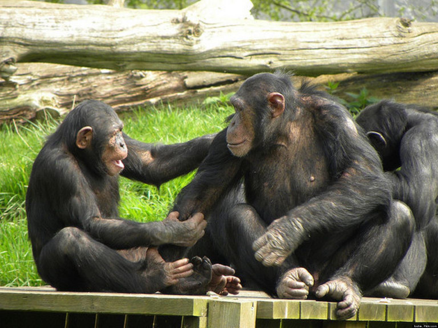 Секс с шимпанзе фото 5 фотография