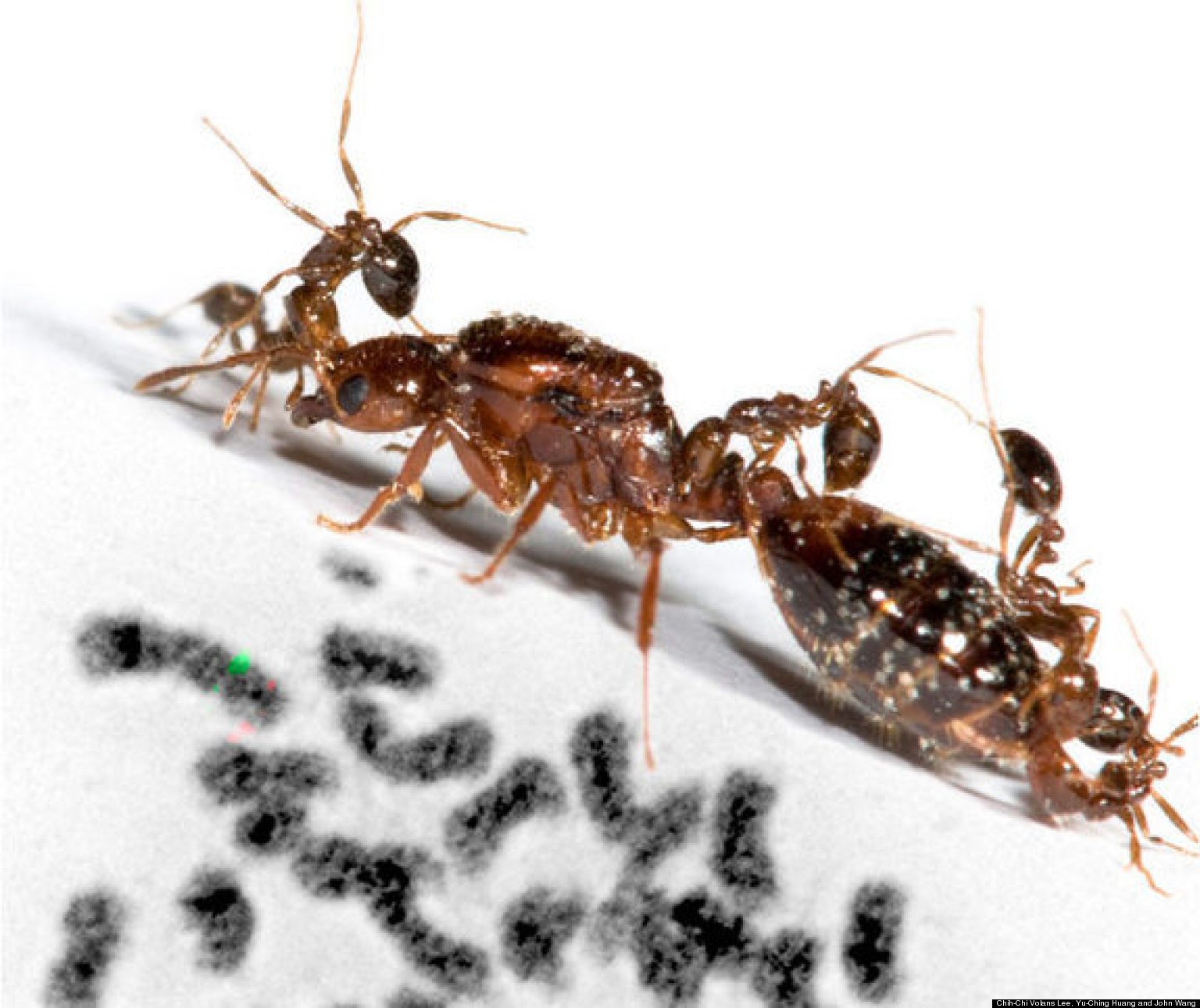 Queen Fire Ant 'Social Chromosome' Th...