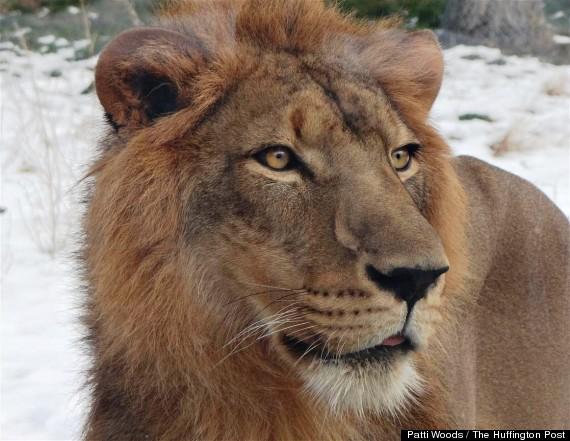 simba lion detroit zoo
