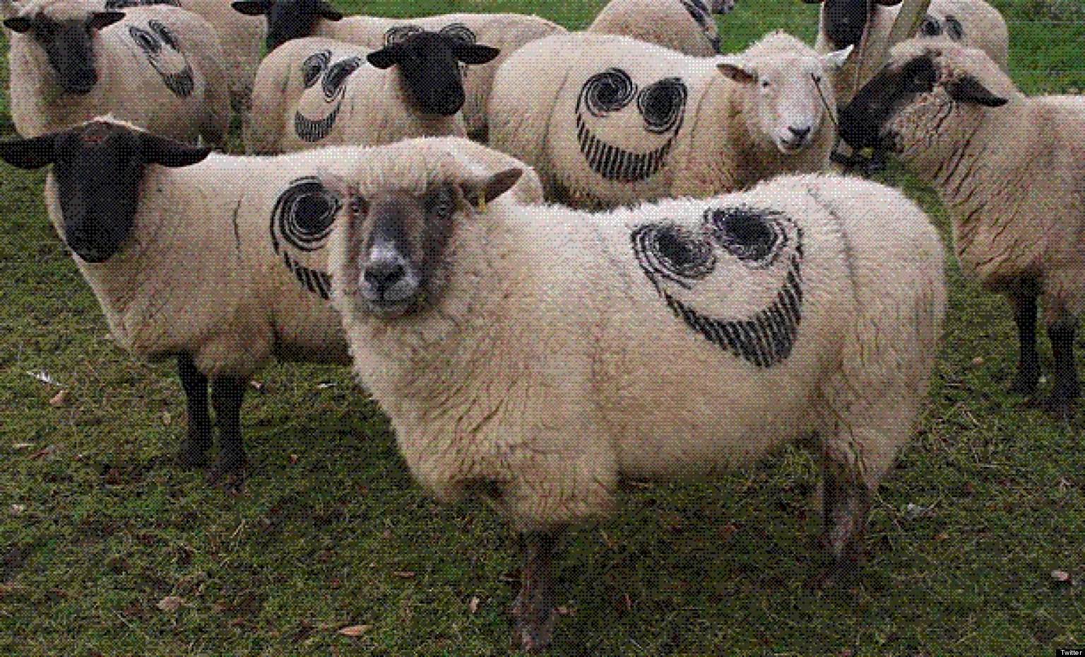 Creepy Sheep Mystery Solved After Smiley Faces Branded On ...