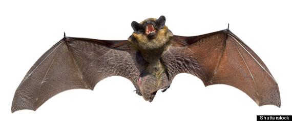 NEW VIRUS FOUND IN BATS