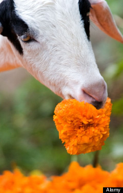 <HH--PHOTO--GARY-FLOWER-EATING-GOAT--954572--HH>