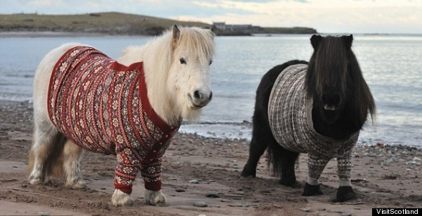 Scotland's Shetland Ponies Don Fair Isle Sweaters For Tourism ...
