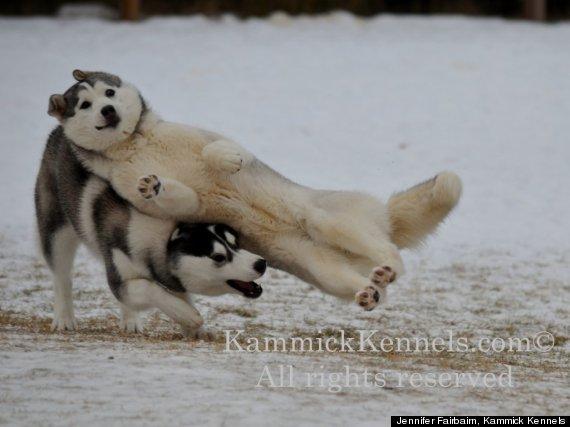 siberian husky puppy slip