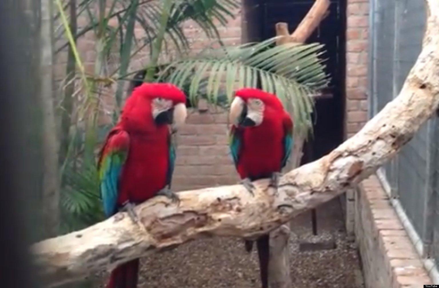 Macaws Love Rap Video Huffpost