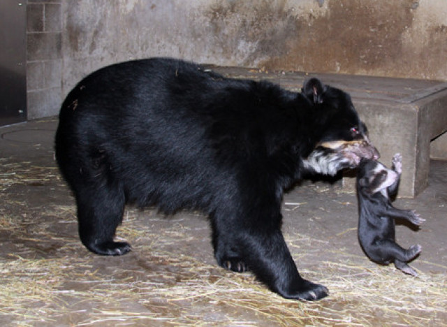 billie jean andean bear