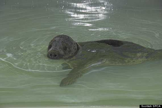 smartie the seal