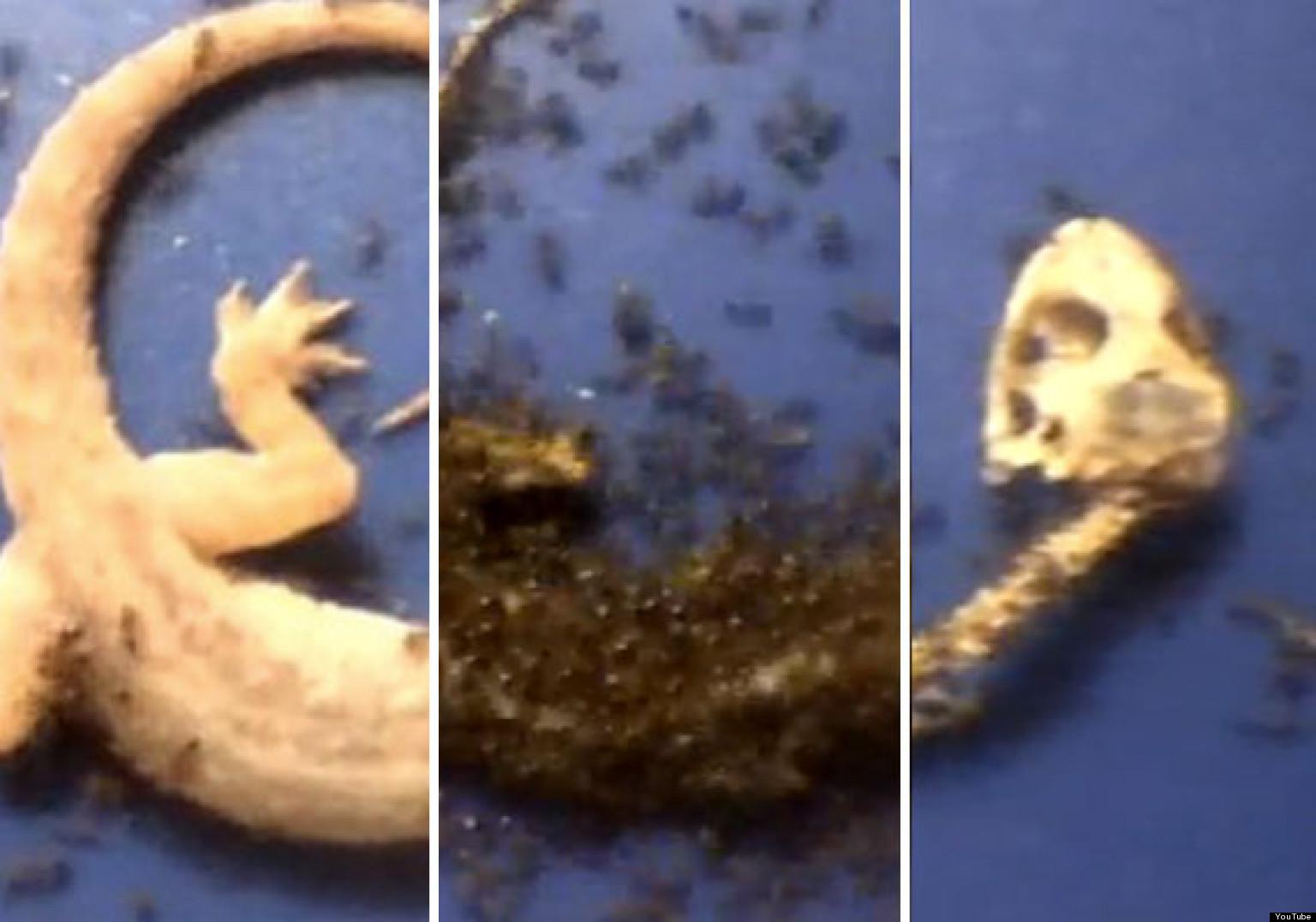 Lizards Eat Ants 'ants Eating Gecko' Video