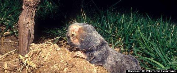 MOLE RAT SPECIATION