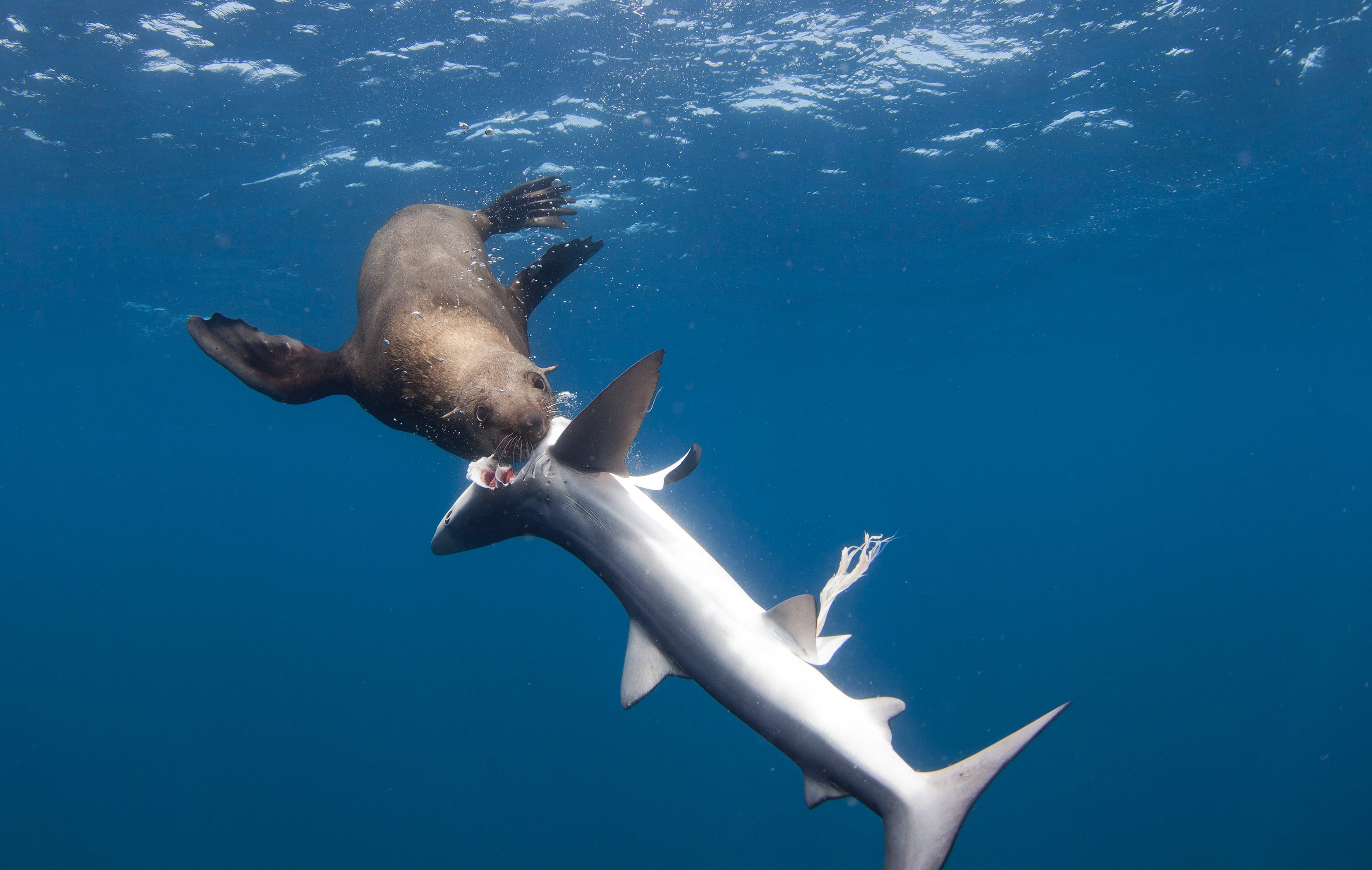 seal eats shark