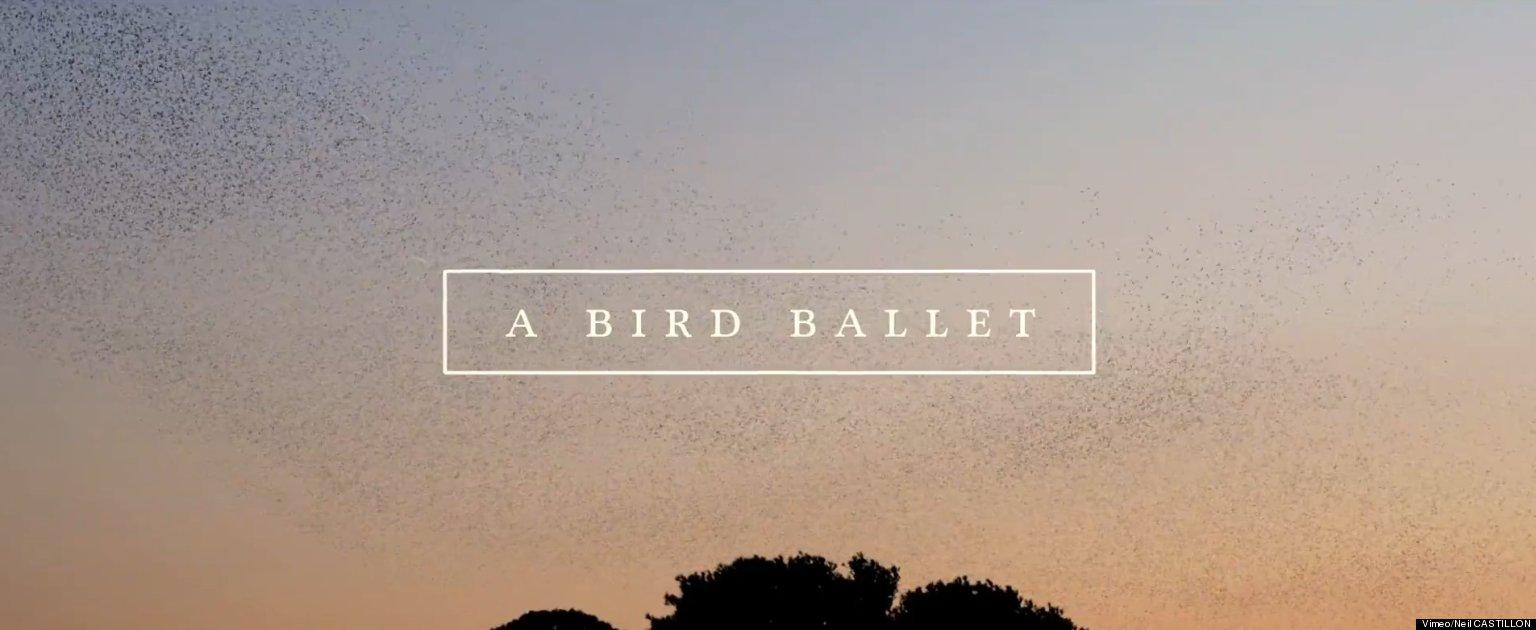 Starling Murmuration Featured In Stunning Bird Ballet