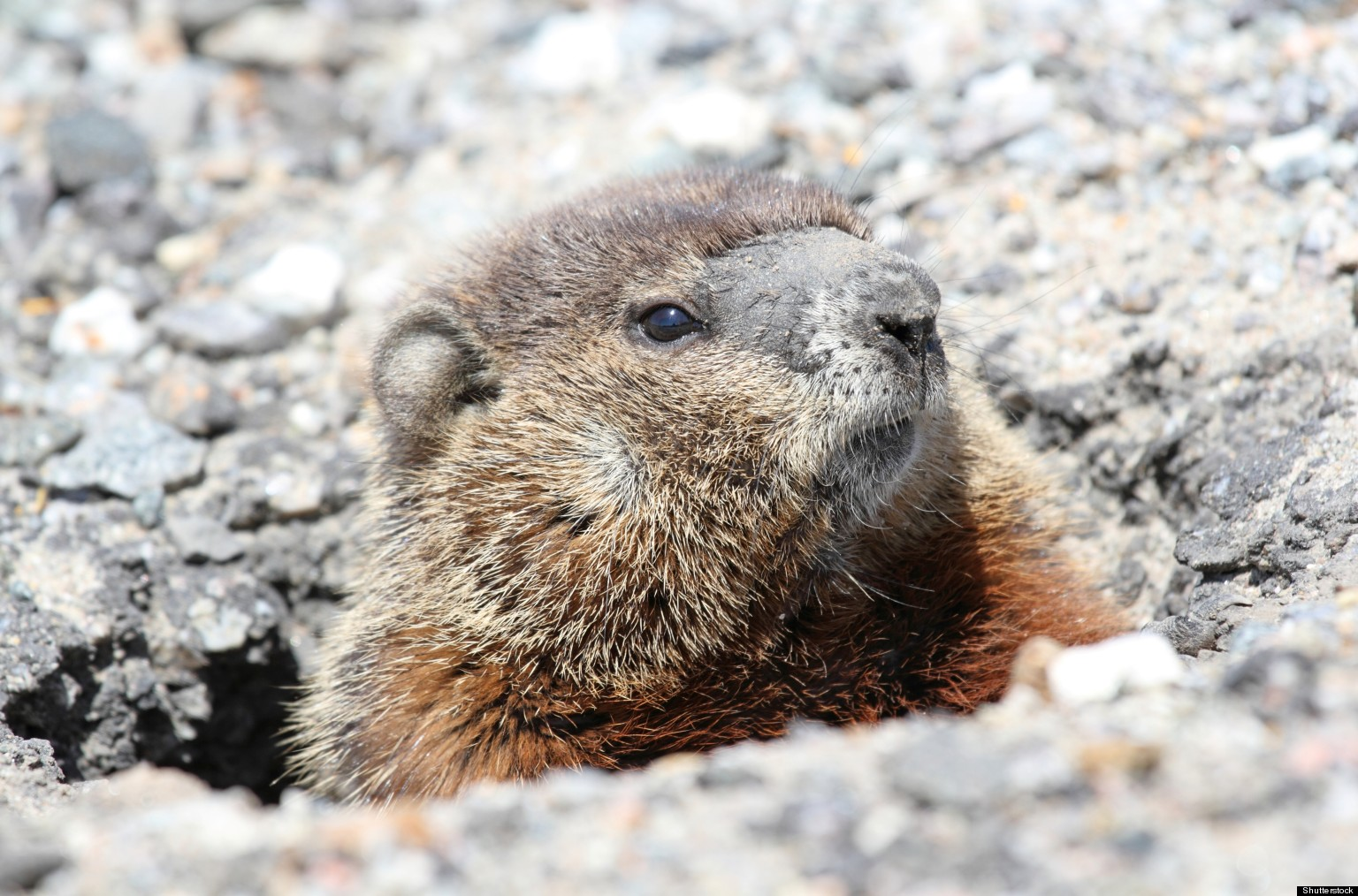 Groundhogs In Your Garden: What You Should Know About The ...