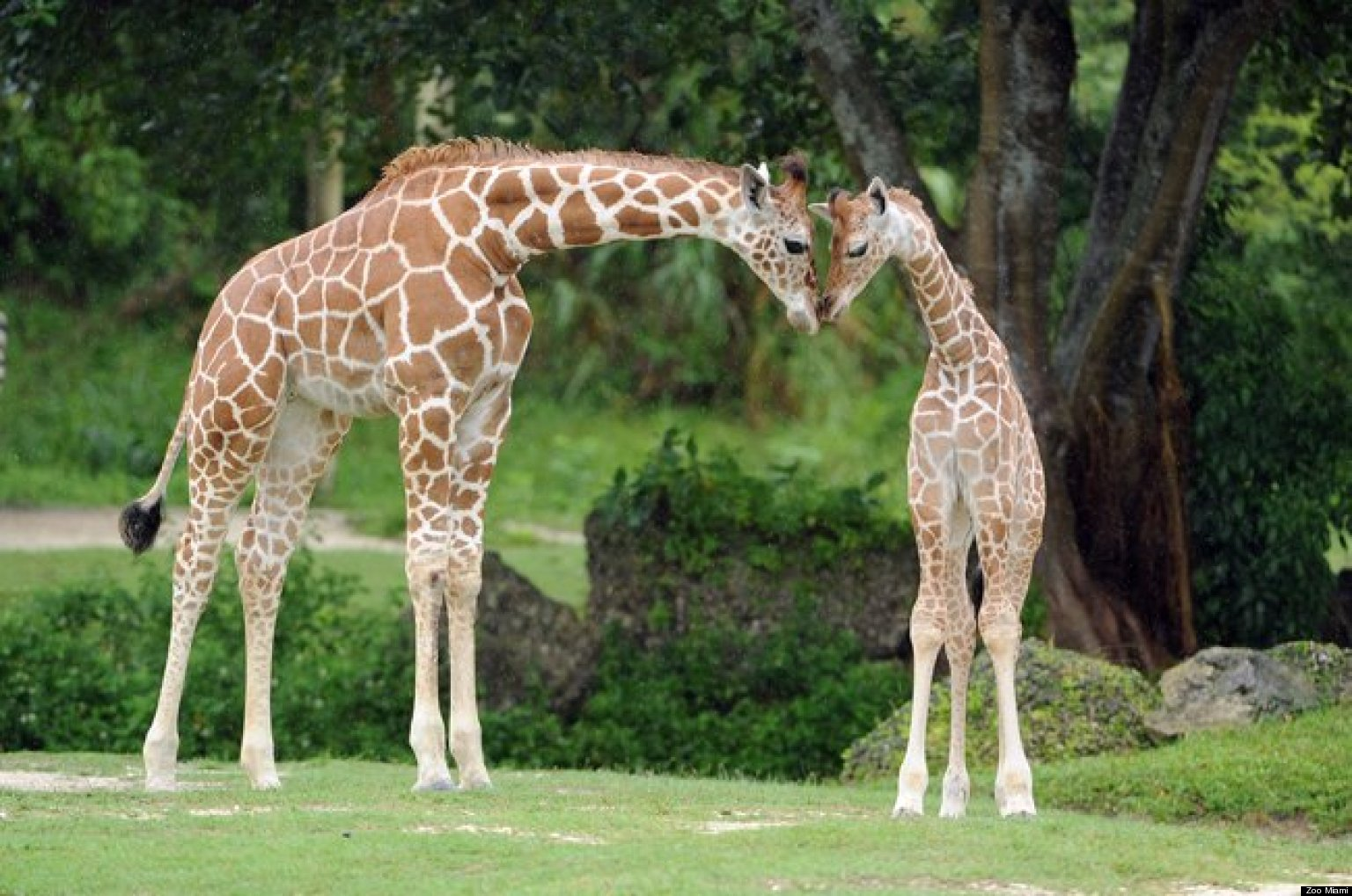 N. Laryngeus Recurrens Giraffe Kita, Zoo Miami...