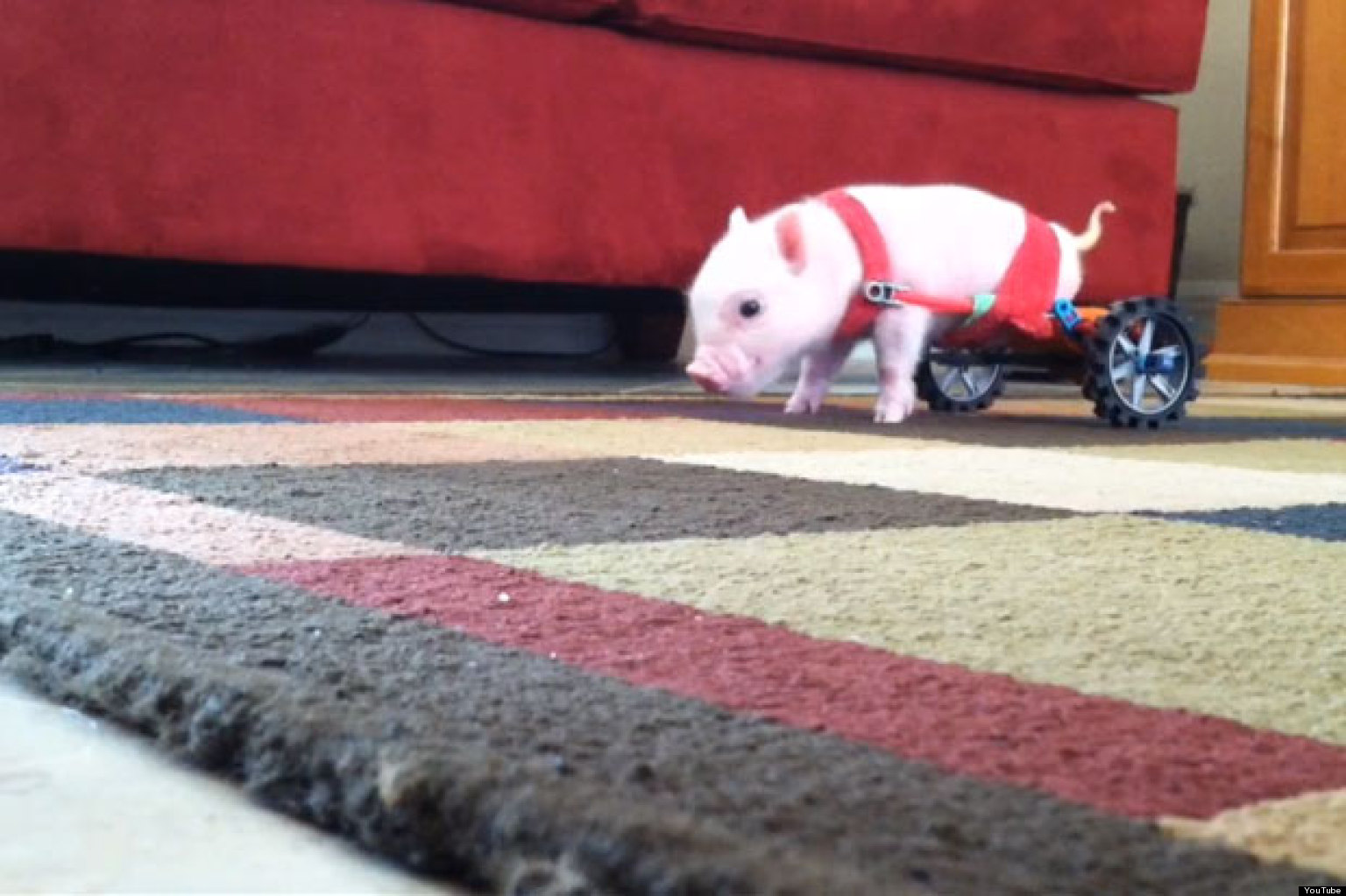 Chris P Bacon Disabled Piglet Uses Tiny Wheelchair
