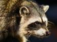 Raccoons Climb Up Seattle Crane, Halt Construction