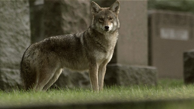 meet the coywolf susan fleming