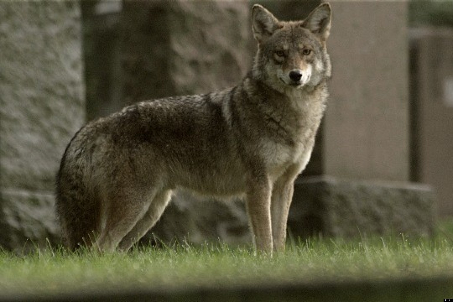 http://i.huffpost.com/gen/980356/thumbs/o-MEET-THE-COYWOLF-SUSAN-FLEMING-facebook.jpg
