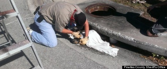 Alligator Rescued From Storm Drain In Florida Photos
