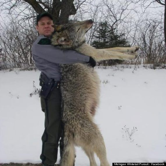 100 pound wolf michigan photo