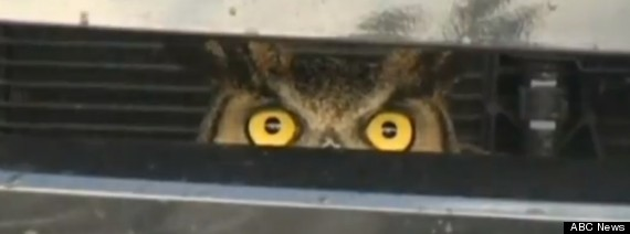 owl stuck in grill